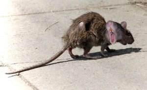"A two-headed rat (see also: artist's depiction of ""Right Honorable"" Stephen Harper)/Kyle Leitch"