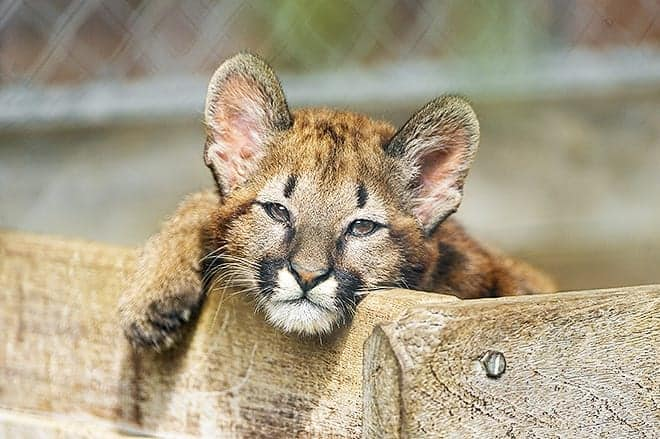 Here kitty, kitty, kitty./Photo by Tambako The Jaguar
