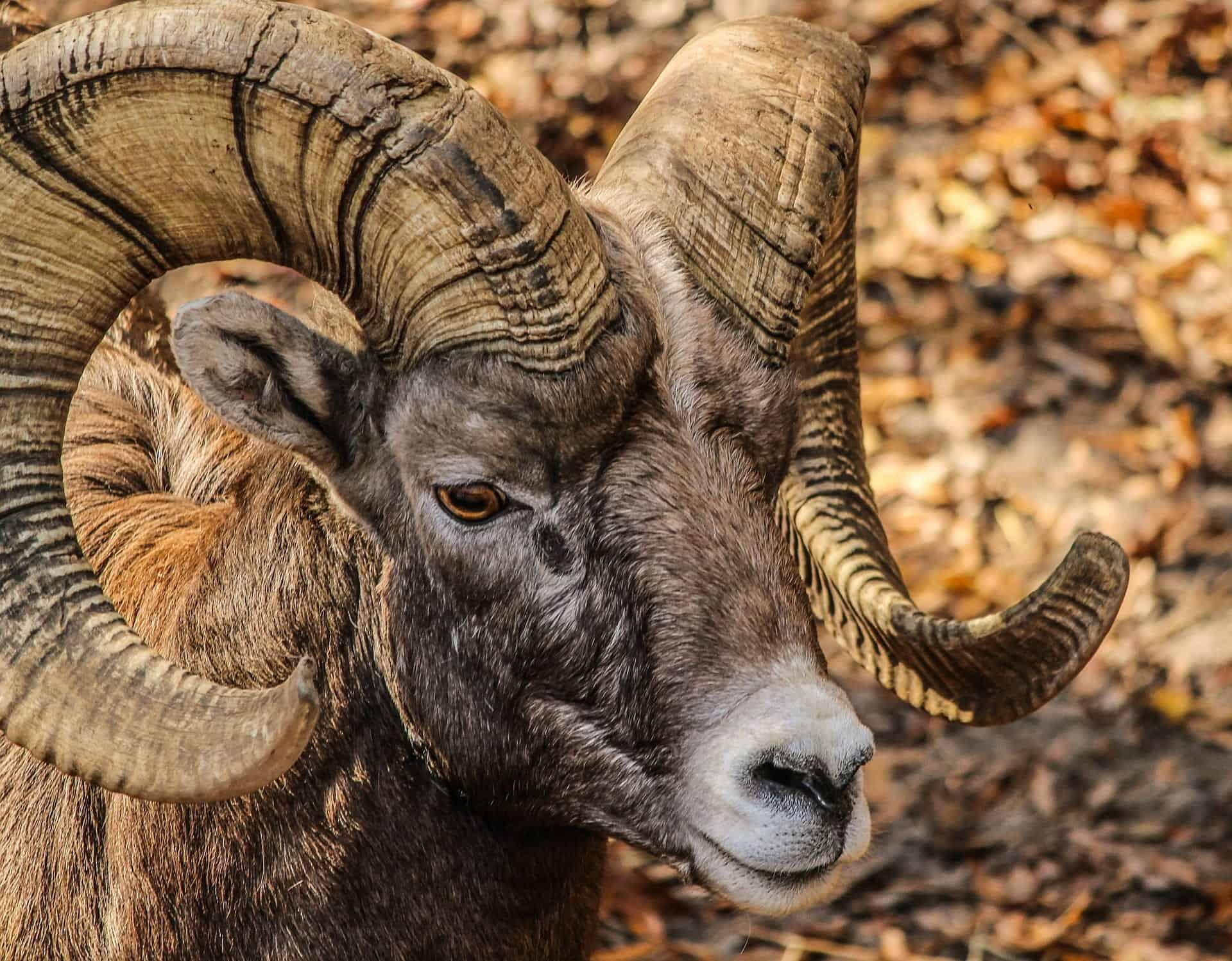 U of R Rams